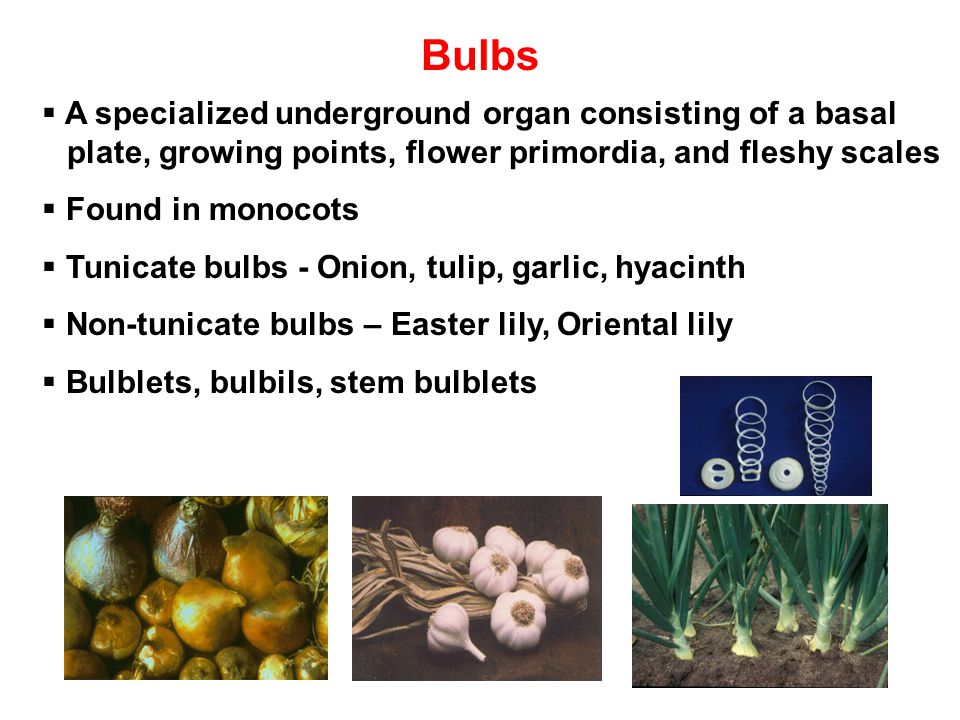 Bulbs A specialized underground organ consisting of a basal plate, growing points, flower primordia, and fleshy scales.