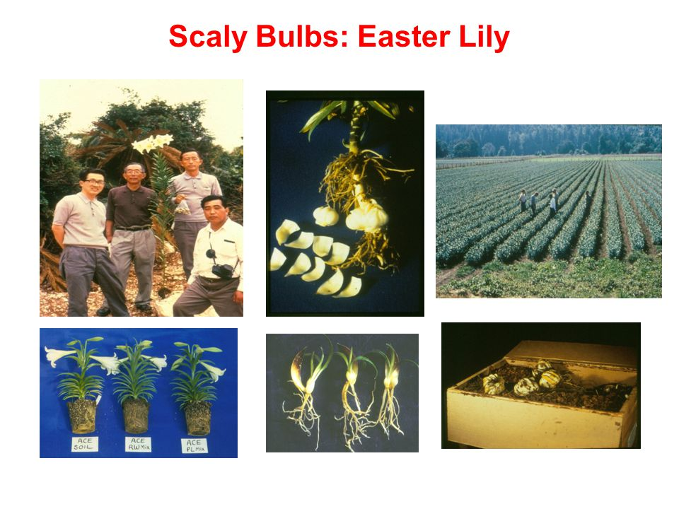 Scaly Bulbs: Easter Lily