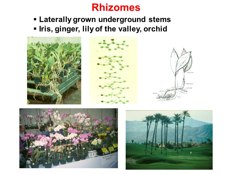 Rhizomes Laterally grown underground stems