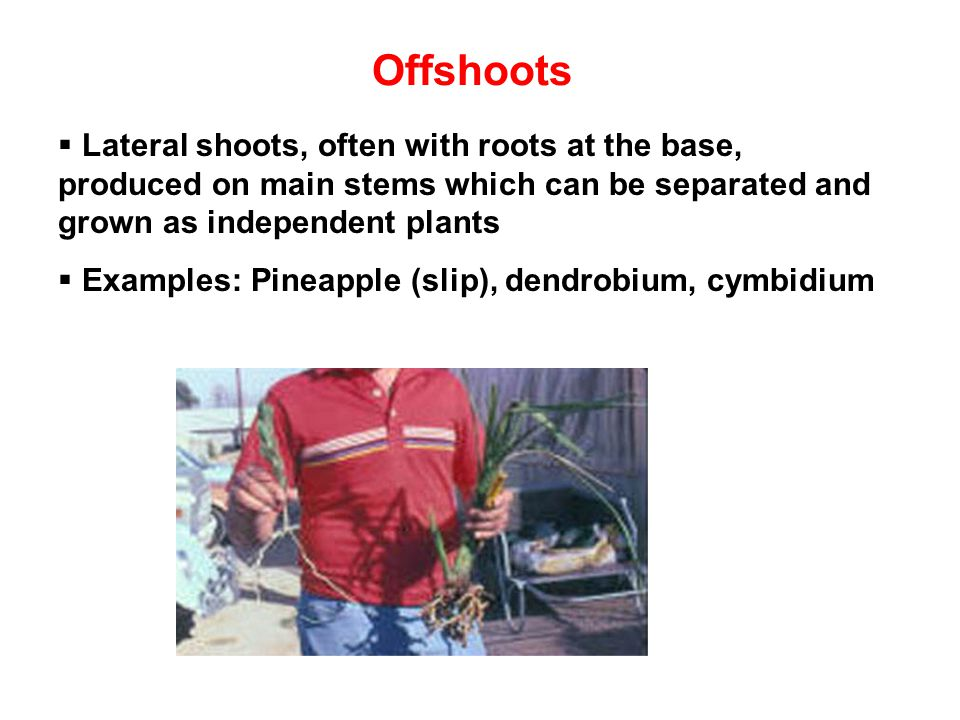 Offshoots Lateral shoots, often with roots at the base, produced on main stems which can be separated and grown as independent plants.