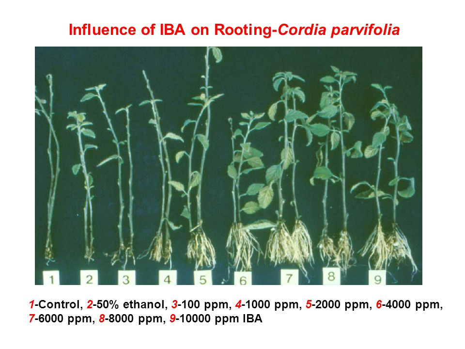 Influence of IBA on Rooting-Cordia parvifolia