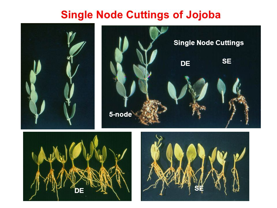 Single Node Cuttings of Jojoba