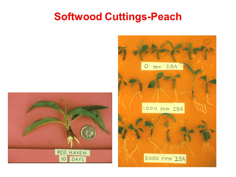 Softwood Cuttings-Peach