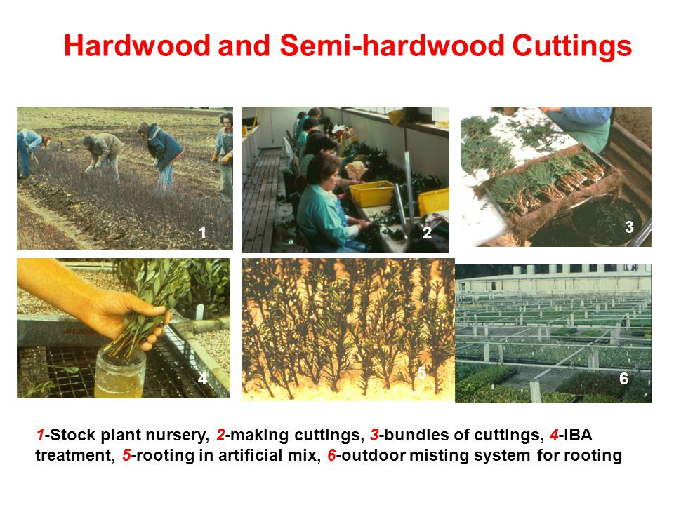 Hardwood and Semi-hardwood Cuttings