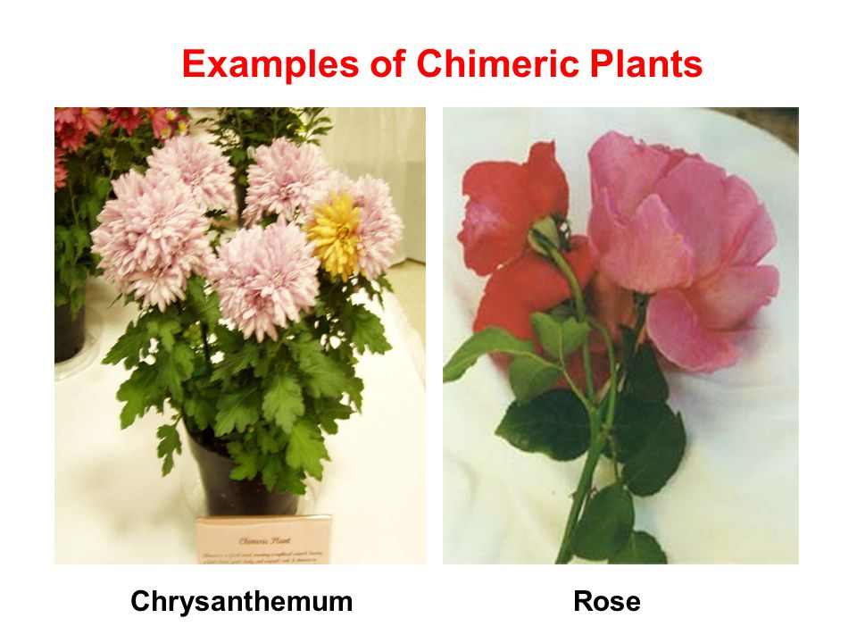 Examples of Chimeric Plants