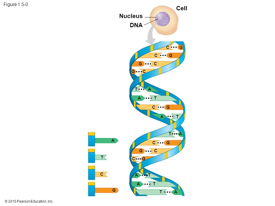 Cell Nucleus DNA Figure 1.5-0