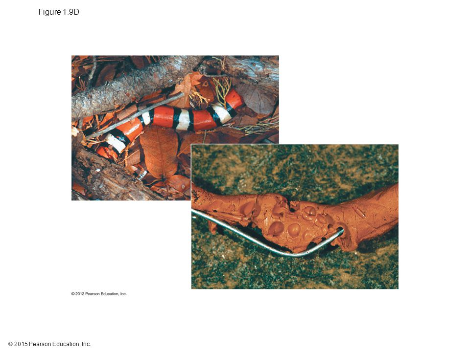 Figure 1.9D Figure 1.9D Artificial king snake that was not attacked (above); artificial brown snake that was attacked by a bear (right)