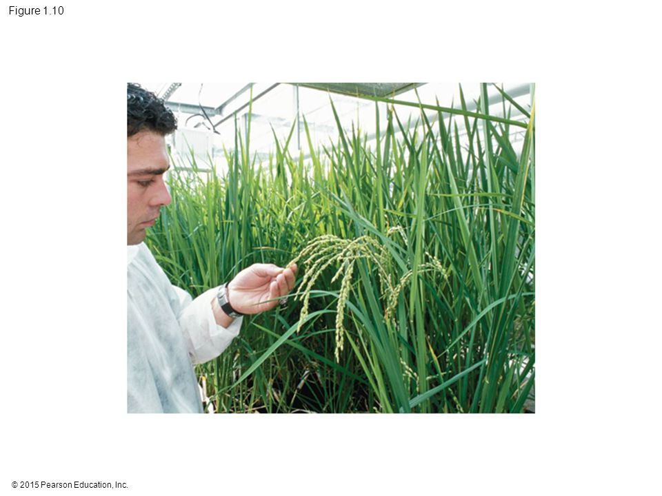 Figure 1.10 Figure 1.10 Researcher working with transgenic rice