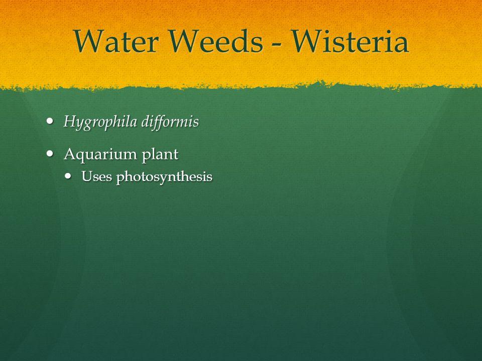 Water Weeds - Wisteria Hygrophila difformis Aquarium plant