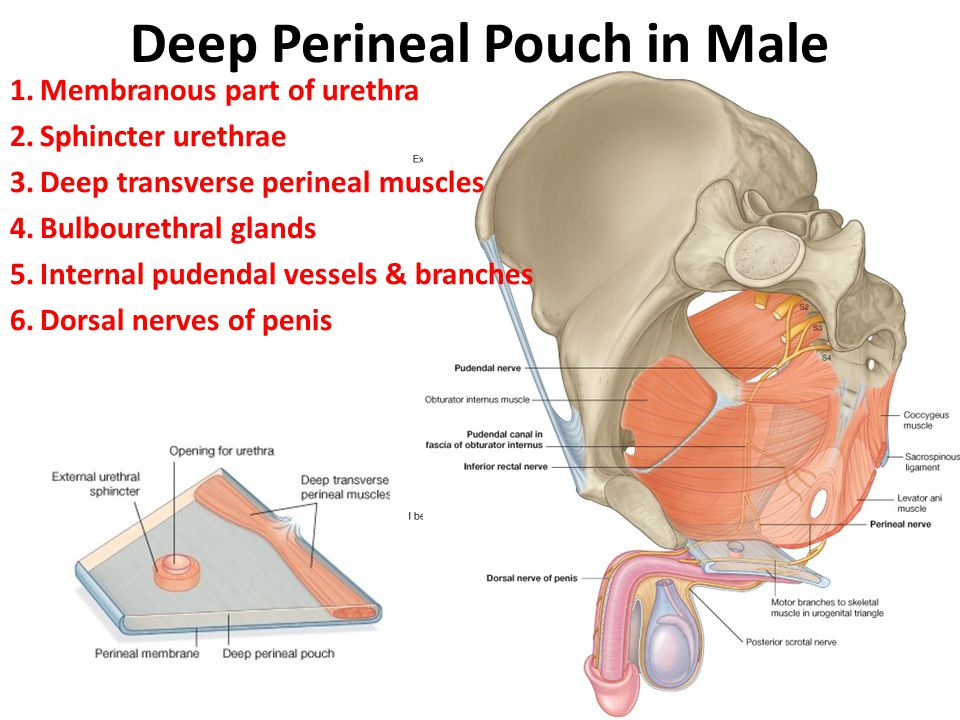 Deep Perineal Pouch in Male
