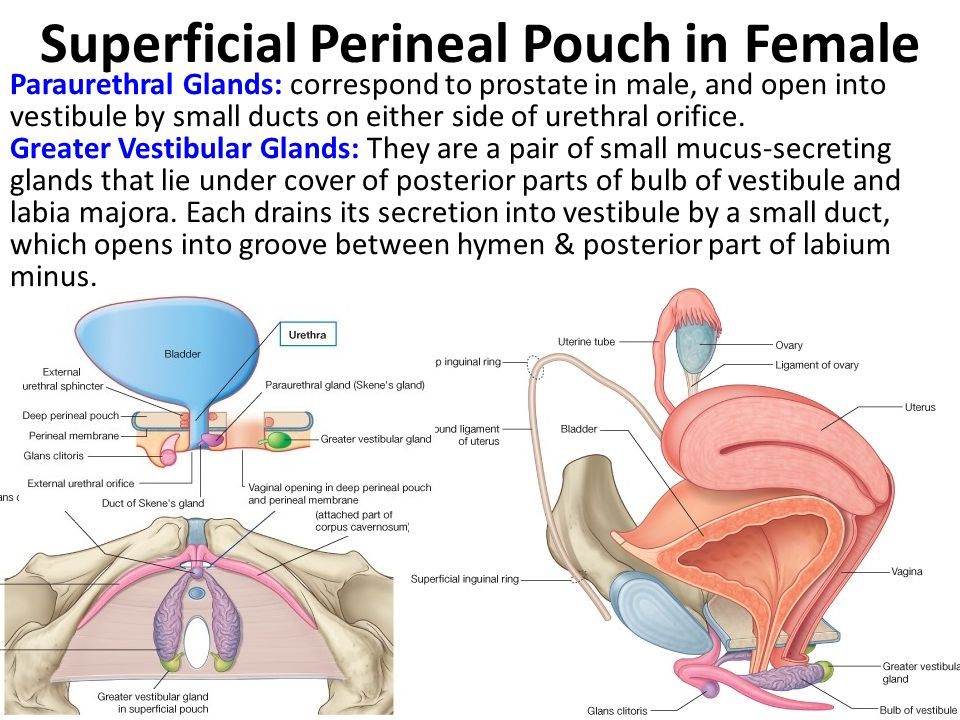 Superficial Perineal Pouch in Female