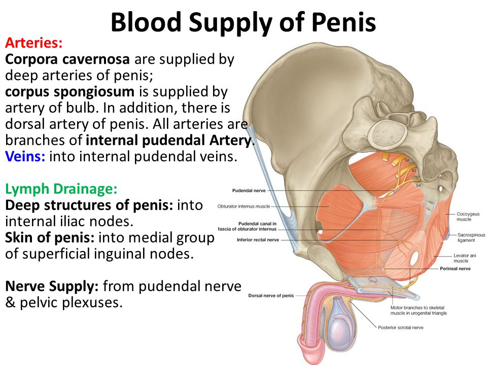 Blood Supply of Penis
