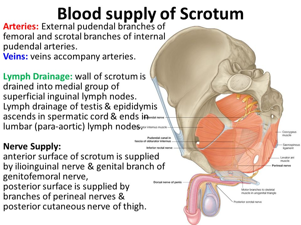 Blood supply of Scrotum