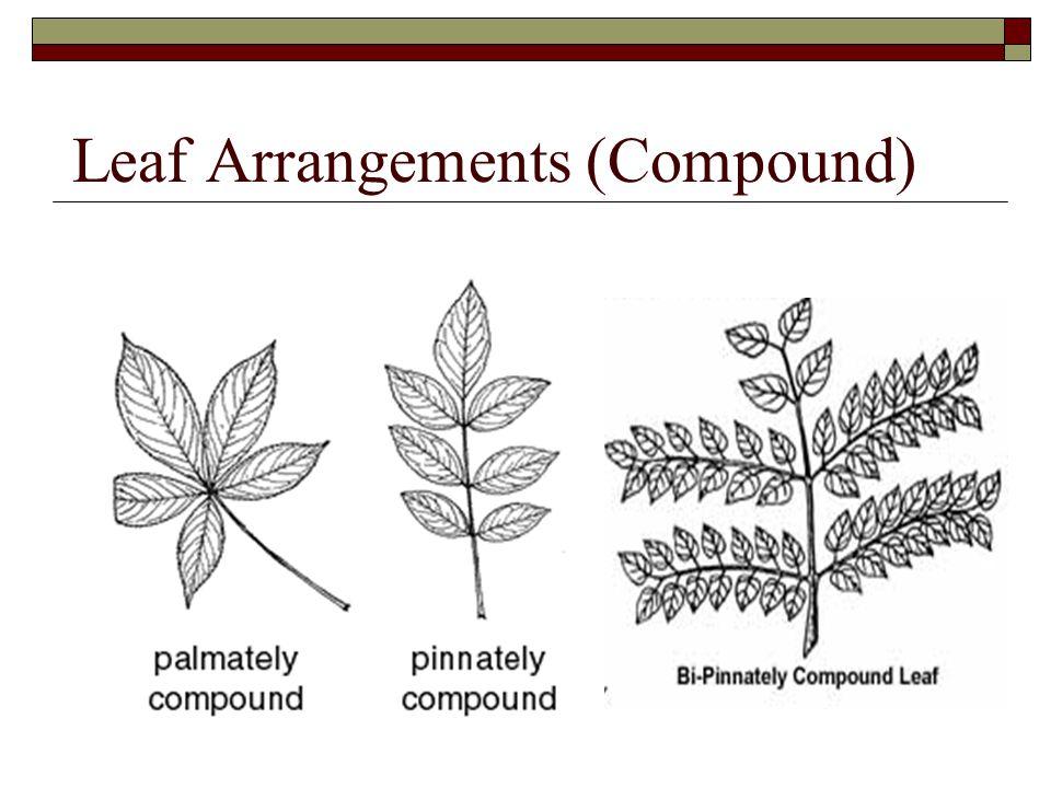 Leaf Arrangements (Compound)