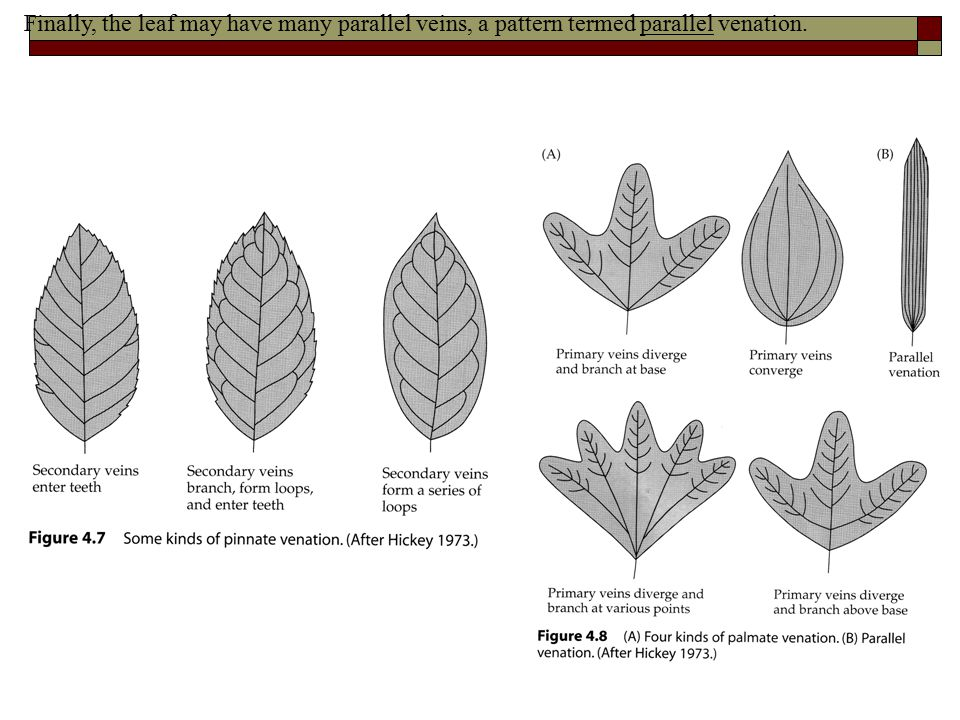 Finally, the leaf may have many parallel veins, a pattern termed parallel venation.