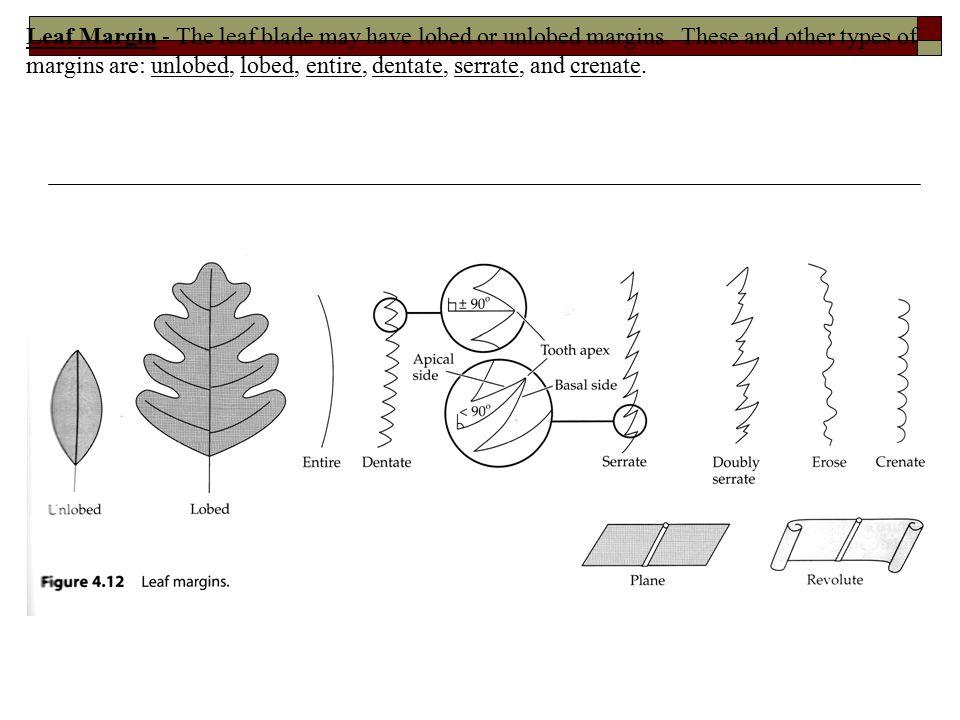Leaf Margin - The leaf blade may have lobed or unlobed margins