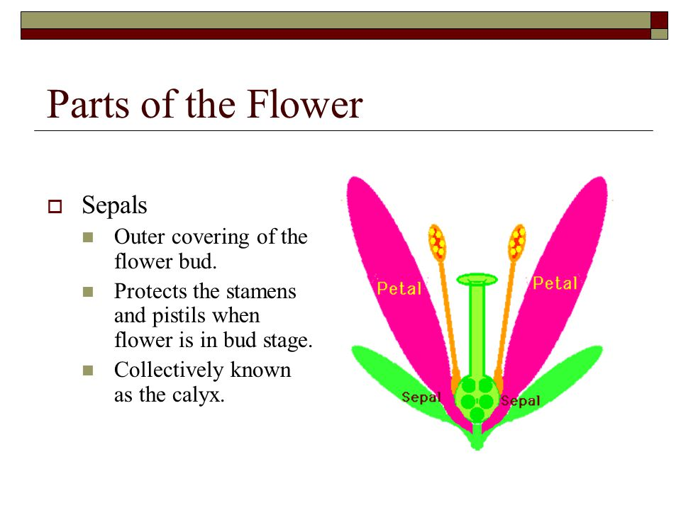 Parts of the Flower Sepals Outer covering of the flower bud.