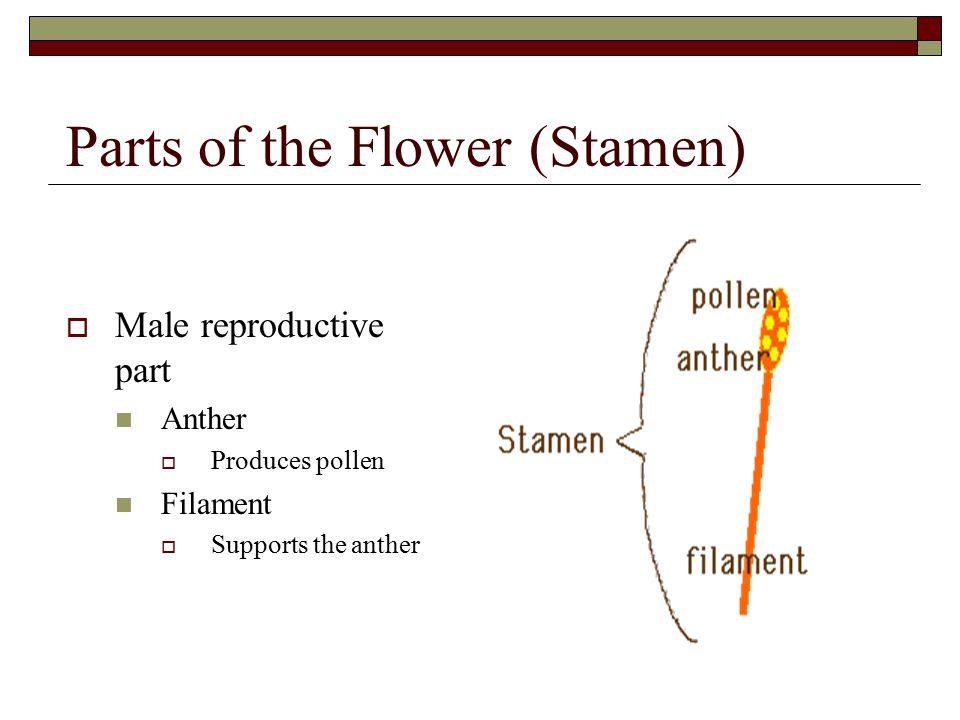 Parts of the Flower (Stamen)