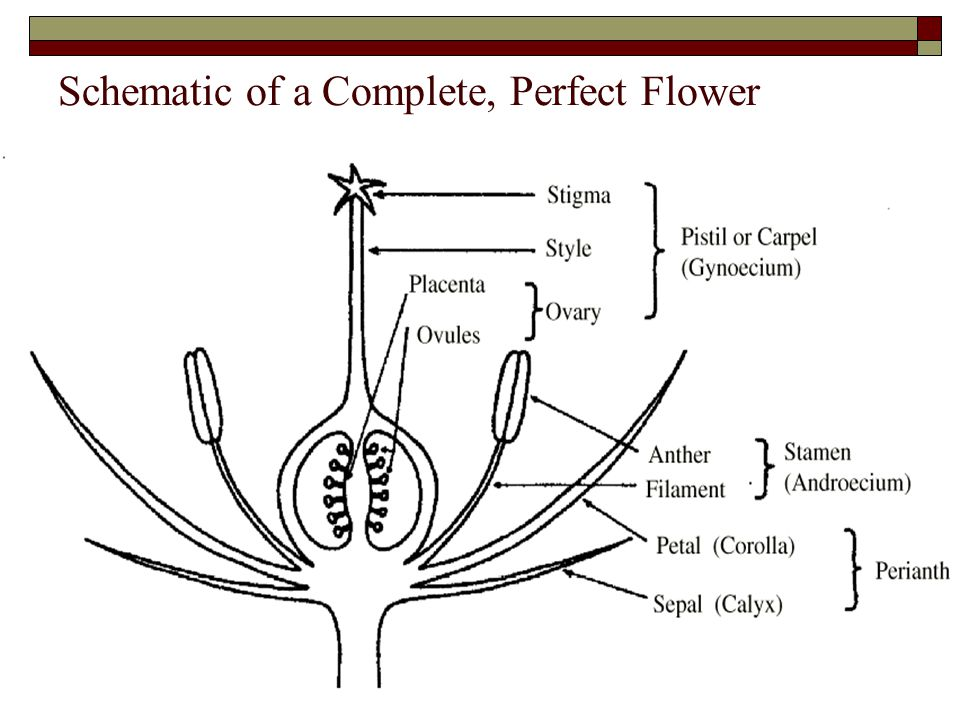 Schematic of a Complete, Perfect Flower
