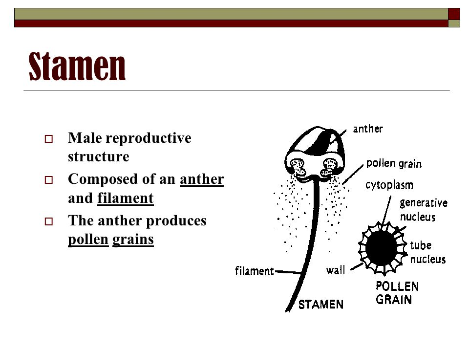 Stamen Male reproductive structure Composed of an anther and filament
