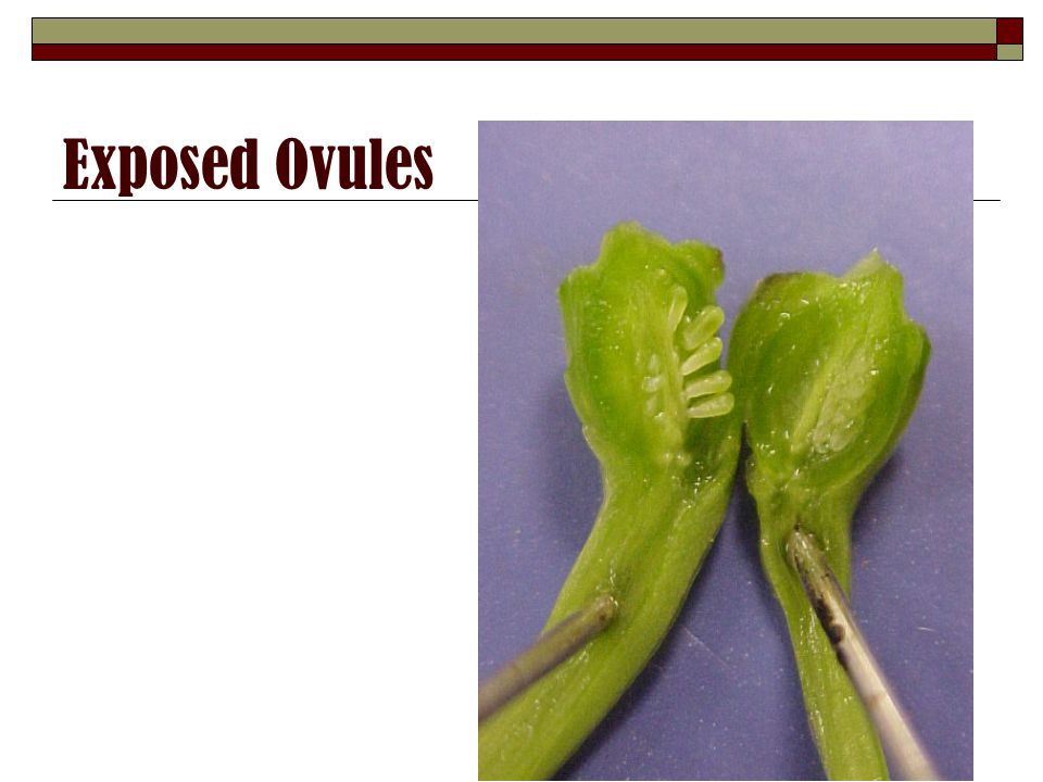 Exposed Ovules
