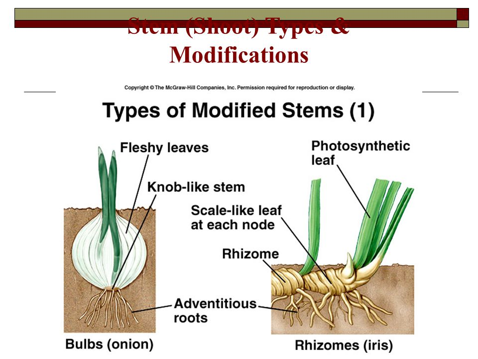 Stem (Shoot) Types & Modifications