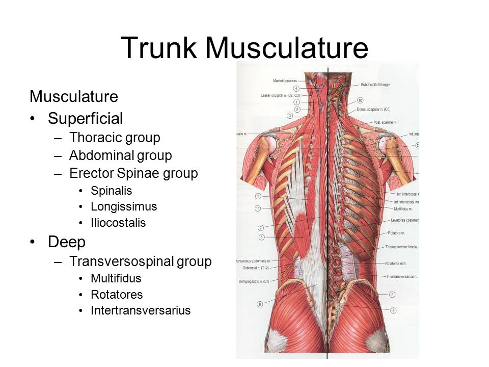 Trunk Musculature Musculature Superficial Deep Thoracic group