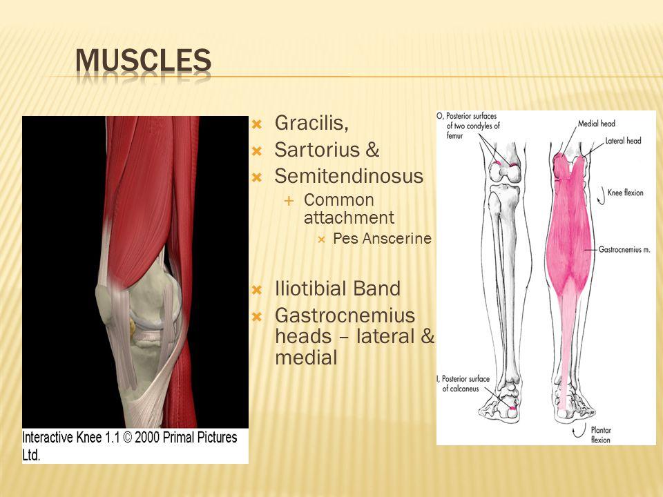 Muscles Gracilis, Sartorius & Semitendinosus Iliotibial Band