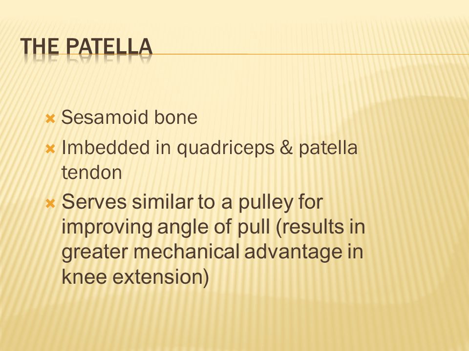 The Patella Sesamoid bone Imbedded in quadriceps & patella tendon