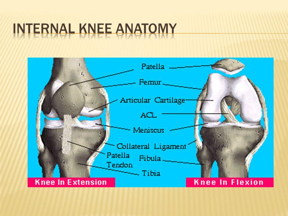 Internal Knee Anatomy