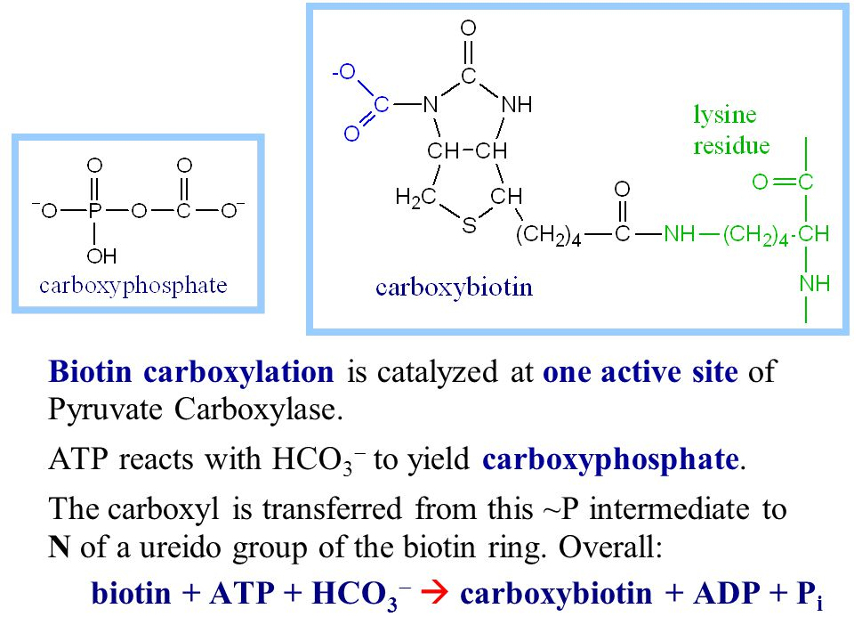 Biotin carboxylation is catalyzed at one active site of Pyruvate Carboxylase.