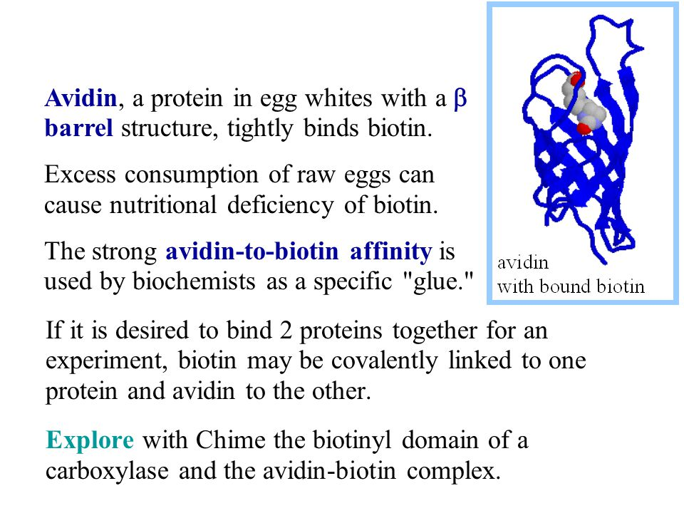 Avidin, a protein in egg whites with a b barrel structure, tightly binds biotin.