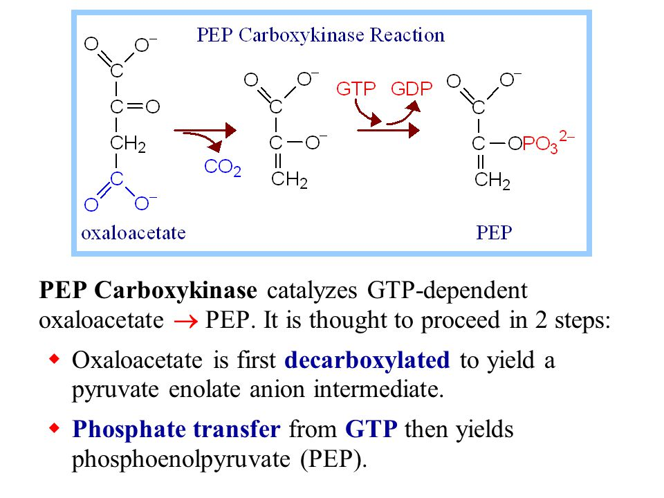 PEP Carboxykinase catalyzes GTP-dependent oxaloacetate  PEP