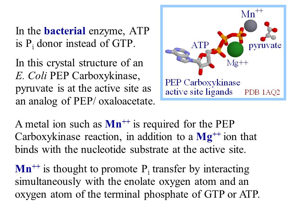 In the bacterial enzyme, ATP is Pi donor instead of GTP.