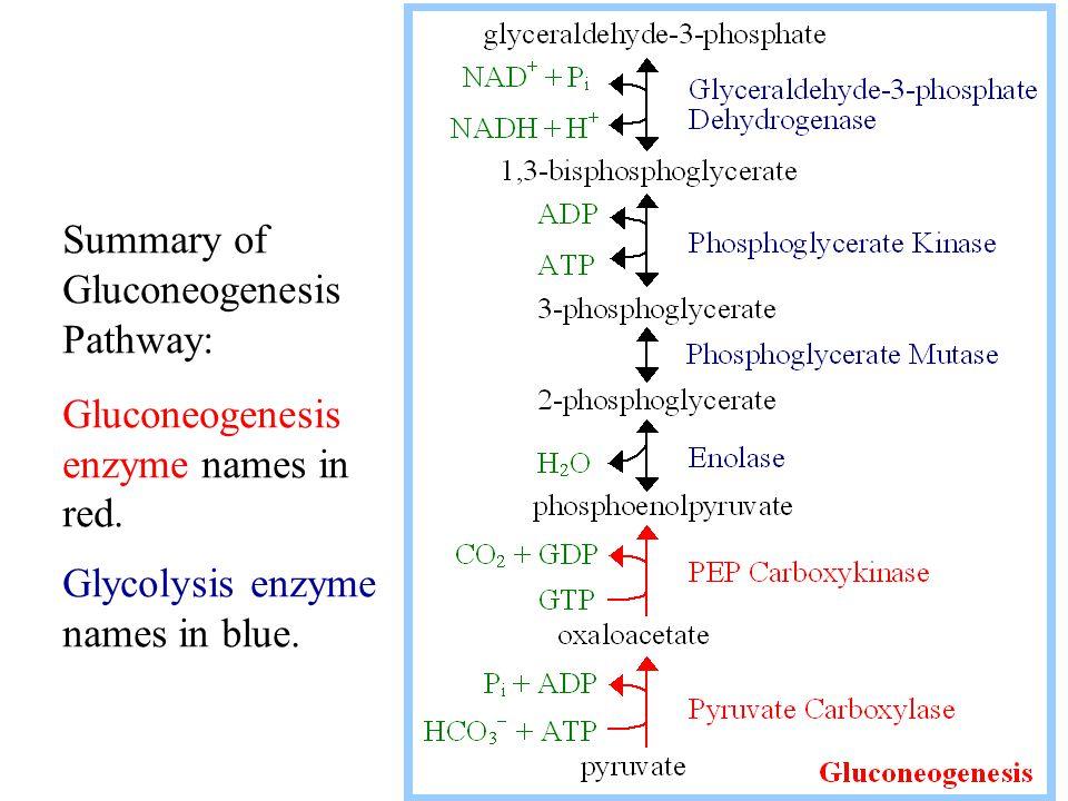 Summary of Gluconeogenesis Pathway: