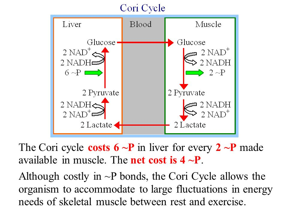 The Cori cycle costs 6 ~P in liver for every 2 ~P made available in muscle. The net cost is 4 ~P.