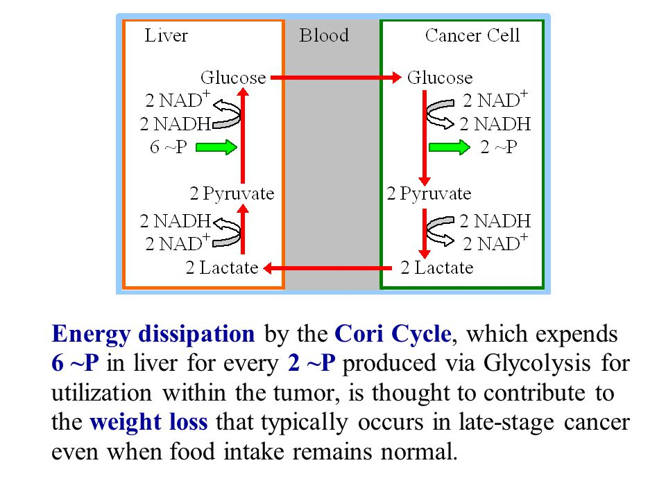 Energy dissipation by the Cori Cycle, which expends 6 ~P in liver for every 2 ~P produced via Glycolysis for utilization within the tumor, is thought to contribute to the weight loss that typically occurs in late-stage cancer even when food intake remains normal.