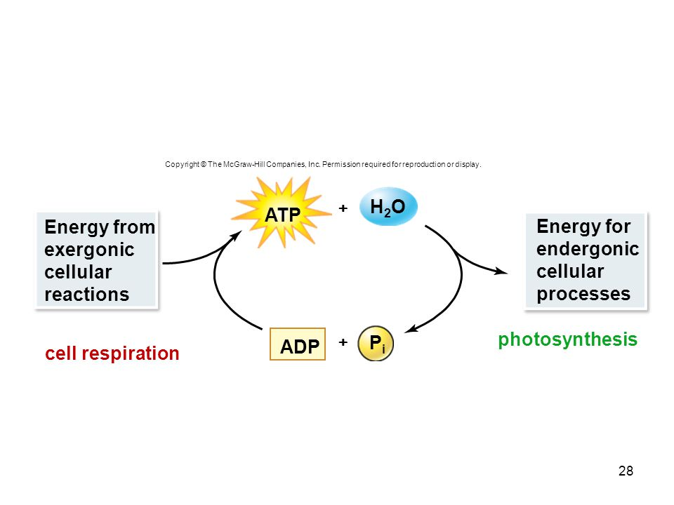photosynthesis cell respiration