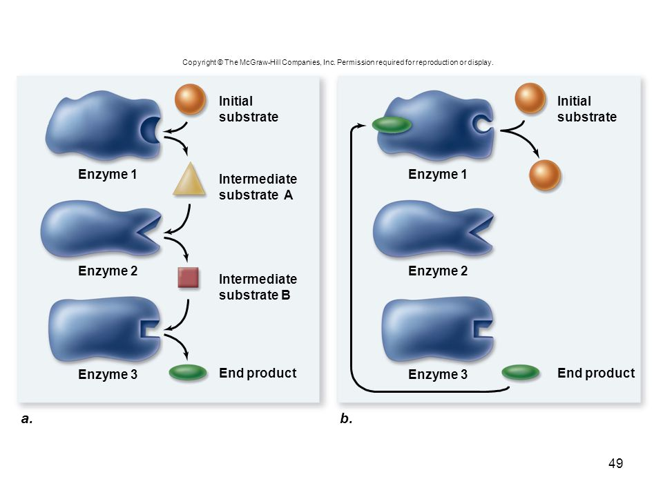 a. b. Initial substrate Initial substrate Enzyme 1 Enzyme 1