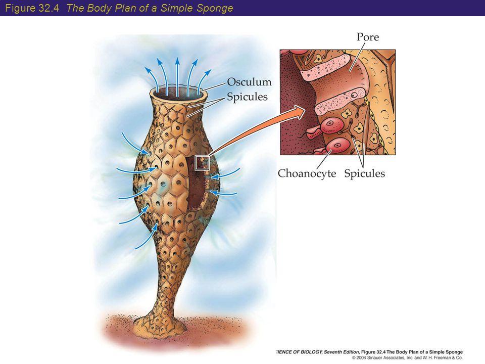 Figure 32.4 The Body Plan of a Simple Sponge