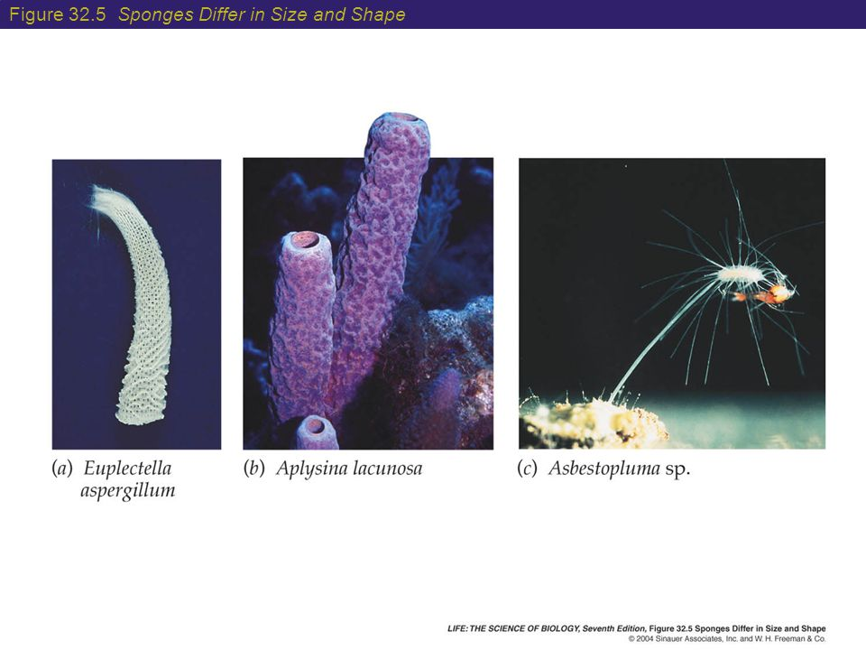 Figure 32.5 Sponges Differ in Size and Shape