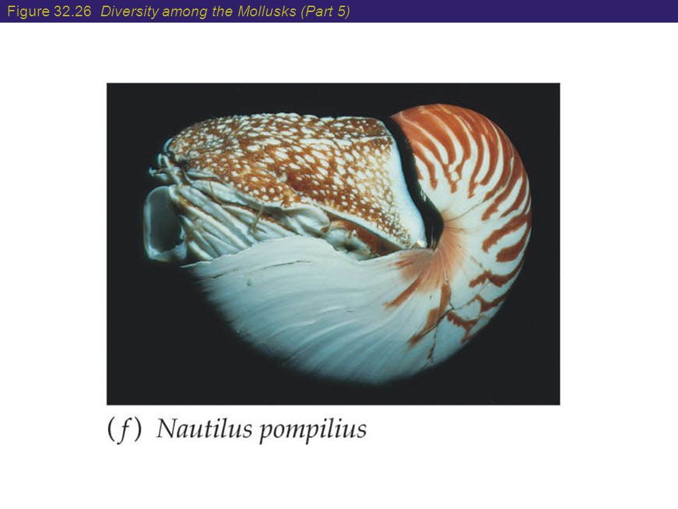 Figure 32.26 Diversity among the Mollusks (Part 5)