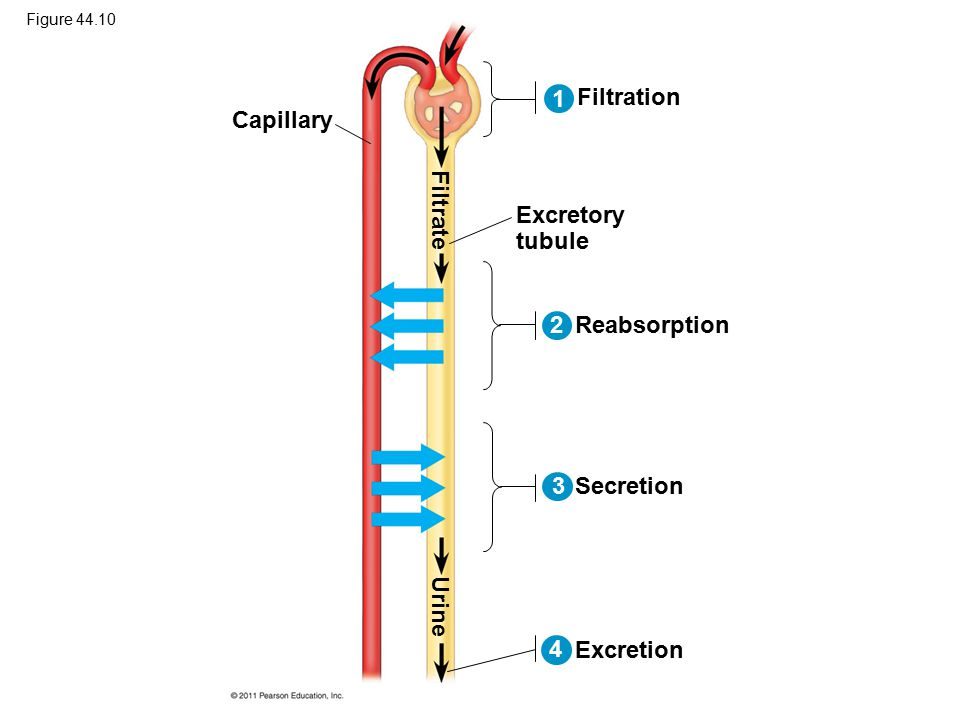 1 Filtration Capillary Filtrate Excretory tubule 2 Reabsorption 3