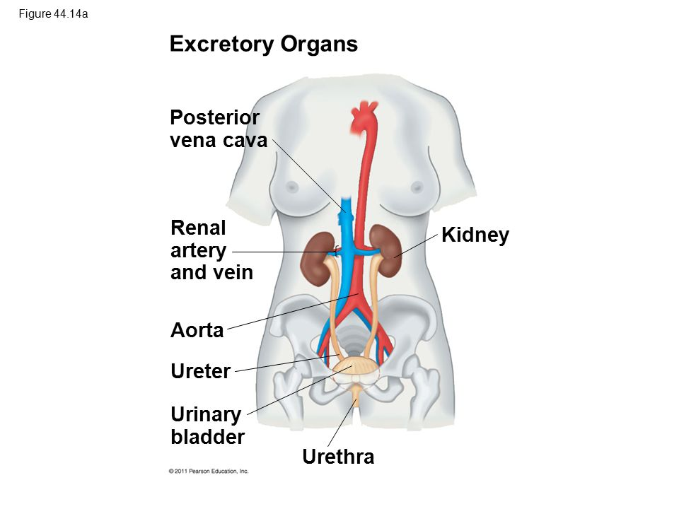 Excretory Organs Posterior vena cava Renal artery and vein Kidney