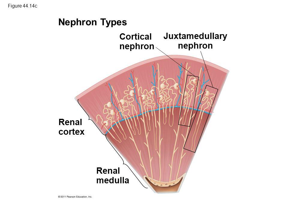 Nephron Types Cortical nephron Juxtamedullary nephron Renal cortex