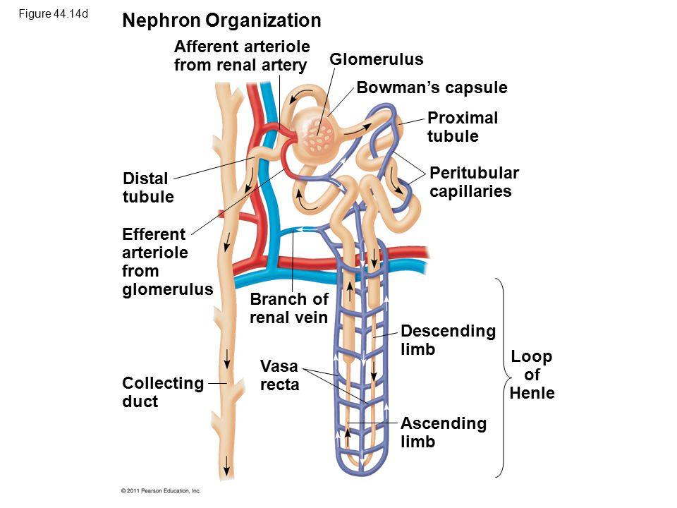 Nephron Organization Afferent arteriole from renal artery Glomerulus