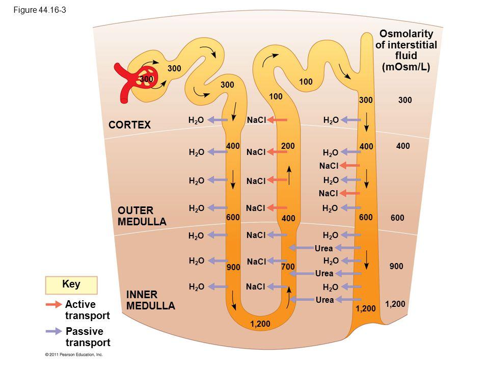 Osmolarity of interstitial fluid (mOsm/L)