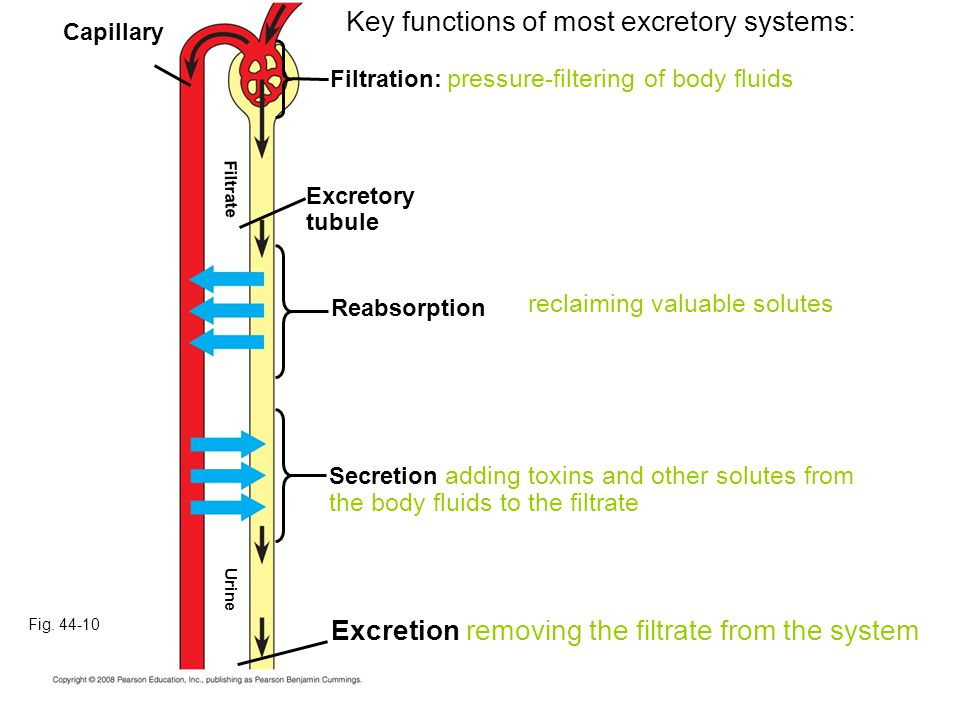 Key functions of most excretory systems:
