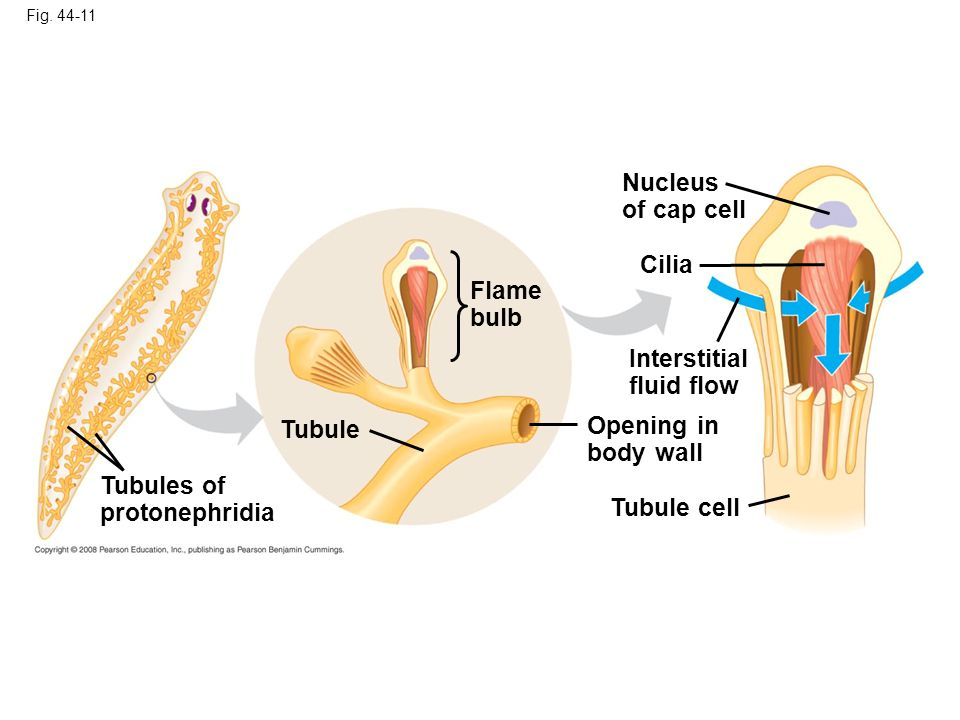 Nucleus of cap cell Cilia Flame bulb Interstitial fluid flow