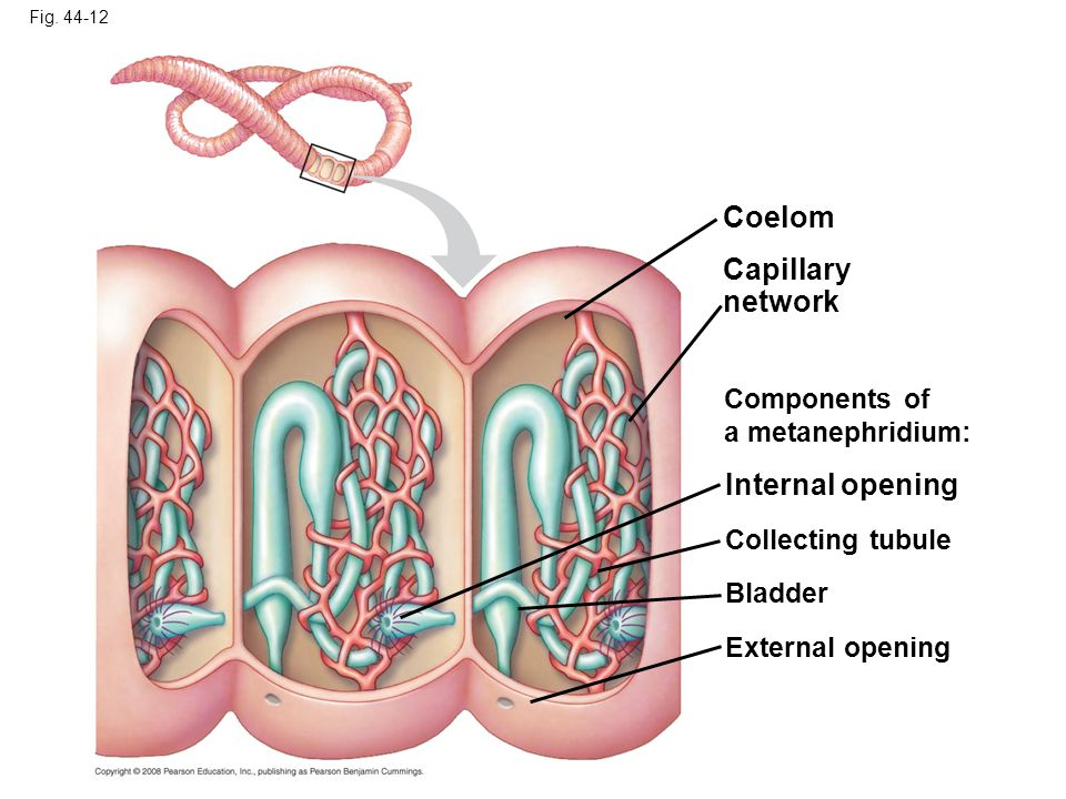 Coelom Capillary network Internal opening Components of